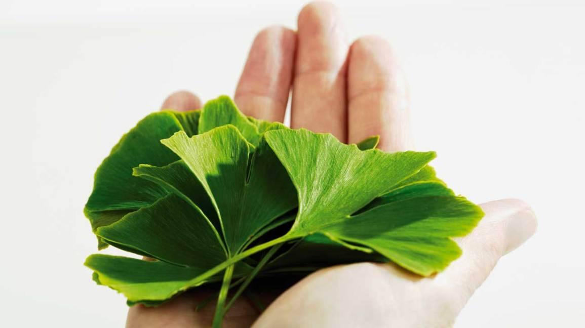 Το Ginkgo Biloba είναι ένα βότανο που, σύμφωνα με μελέτες, προάγει την καλή κυκλοφορία του αίματος σε όλα τα μέρη του σώματος, συμπεριλαμβανομένων του εγκεφάλου και των άνω και κάτω άκρων.