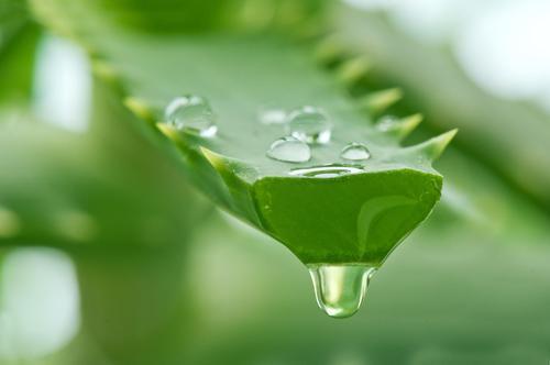 Η Aloe Vera είναι μια ζελατινοειδής τροφή.