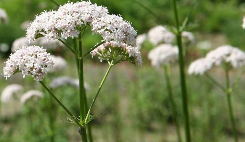 Η βαλεριάνα (Valeriana officinalis) θεωρείται ένα φυσικό ηρεμιστικό και υπνωτικό.