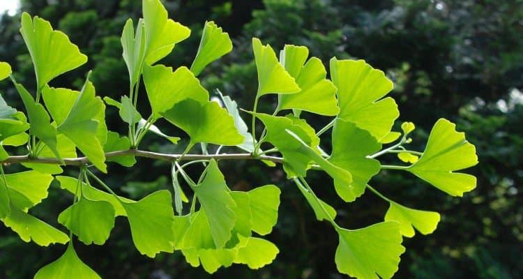 Με το Ginkgo Biloba επιτυγχάνεται η διέγερση της ανάπτυξης των νευρώνων και εξασφαλίζονται καλύτερες συνδέσεις μεταξύ τους.