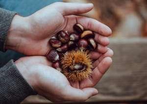 Τα κάστανα δεν περιέχουν την ποσότητα λίπους που περιέχουν οι ξηροί καρποί.